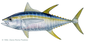 tuna_yellowfin
