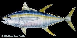 tuna_yellowfin